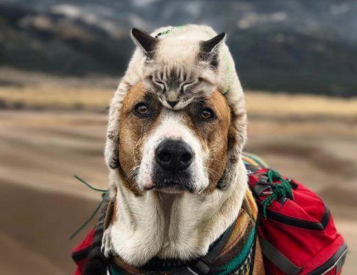 chat et un chien sauveteur font des randonnées