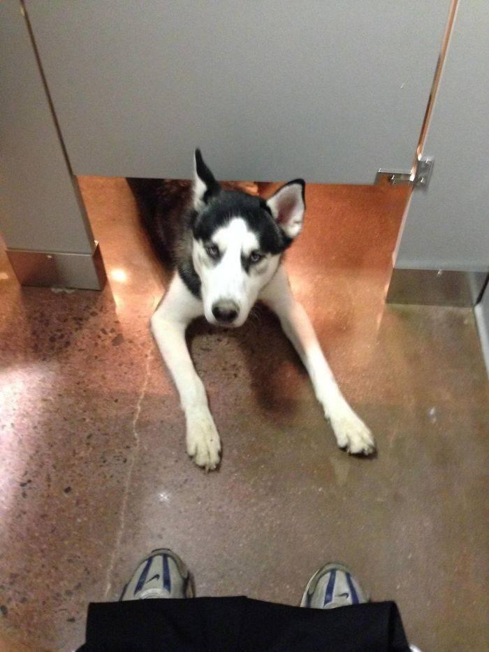 Ce Husky est apparu pendant que je caca dans des toilettes publiques. Il m'a regardé pendant quelques secondes et puis a couru loin