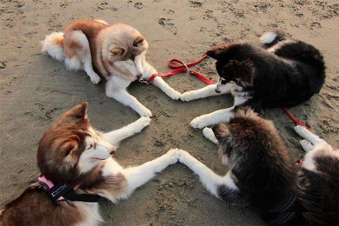 Huskies essayant d'invoquer Satan