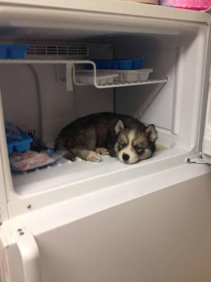 Notre Stark Husky semblait un peu surchauffé après sa marche ce matin, alors nous avons décidé d'essayer quelque chose. Nous le regrettons maintenant parce qu'il est impossible de le faire sortir