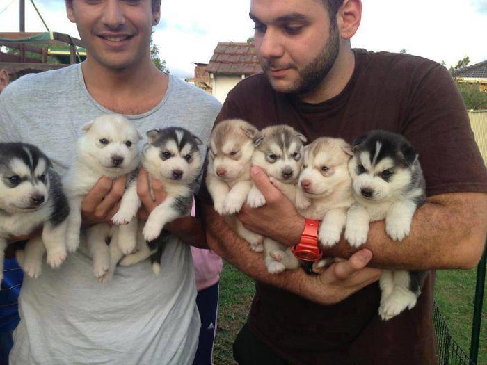 Qui veut un Husky?