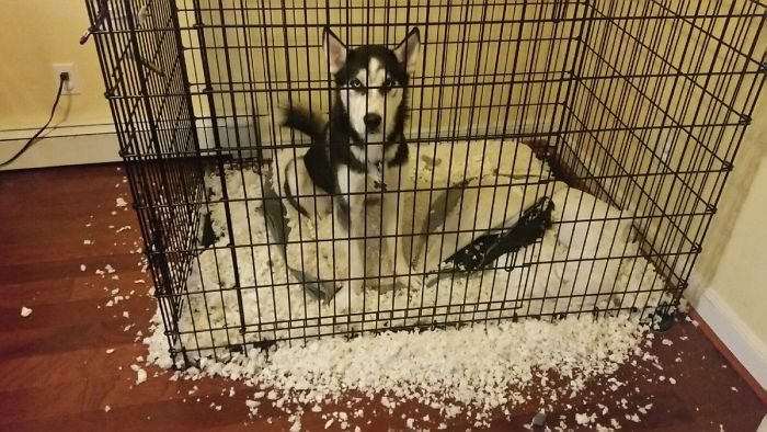 Fait amusant ... Si vous ne fournissez pas votre husky avec de la neige, il produira de la neige de son environnement
