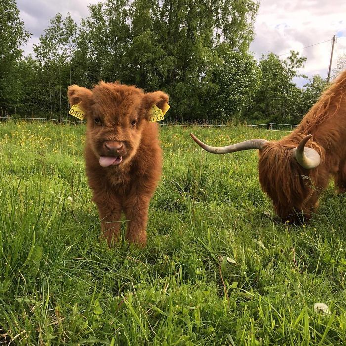 Cute-Baby-Highland-Bovins-Veaux