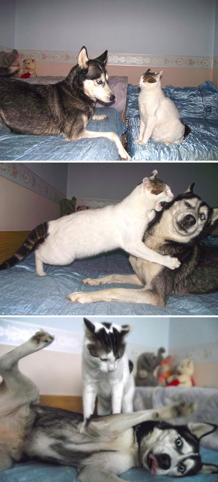 Chat Vs Husky