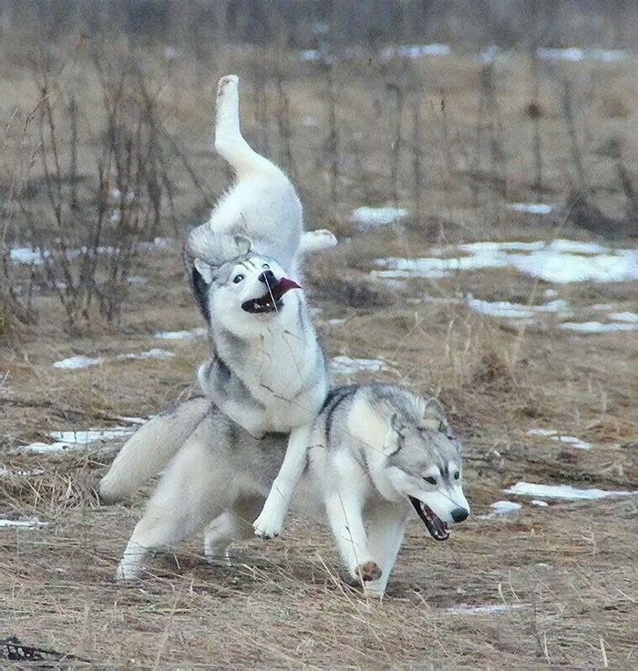 A Amis Majestic Huskies
