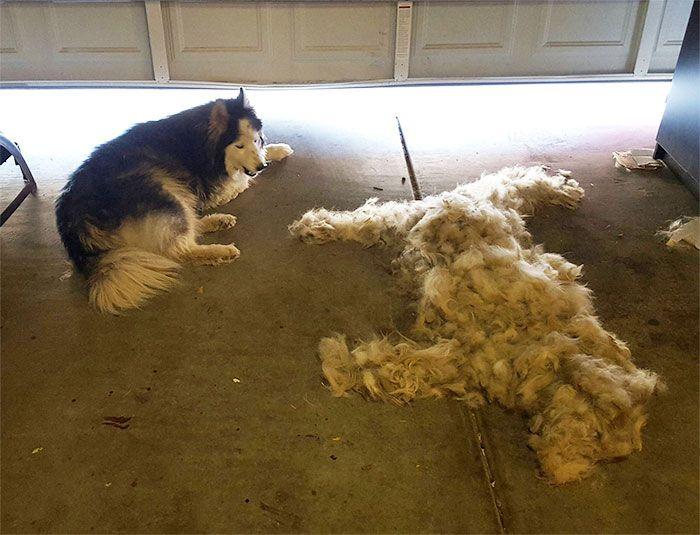 Brossez un Husky, obtenez-en un gratuitement