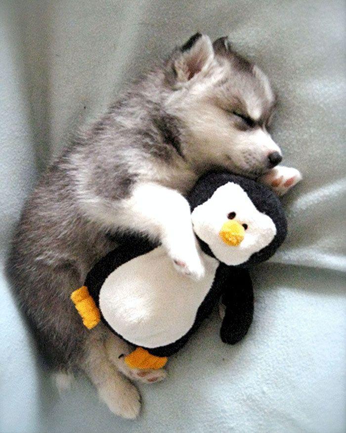 Husky chiot prendre une sieste avec son pingouin farci
