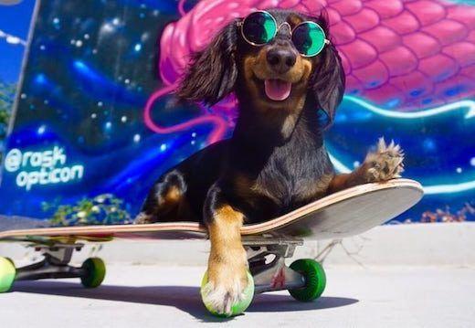 teckel arpente les rues de LA sur son skate
