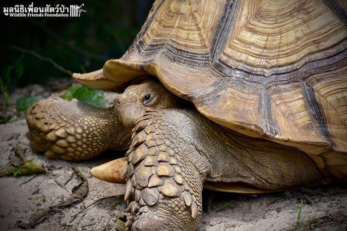 tortue et ce petit veau