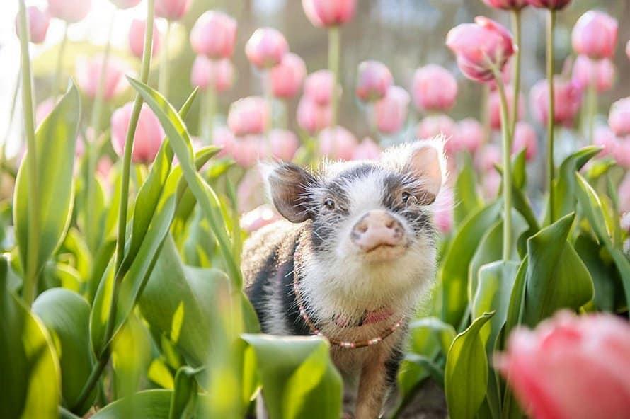 cochon dans des tulipes roses