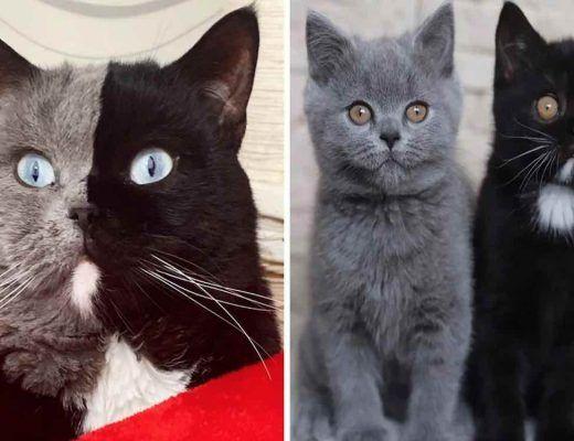 chat aux 2 visages