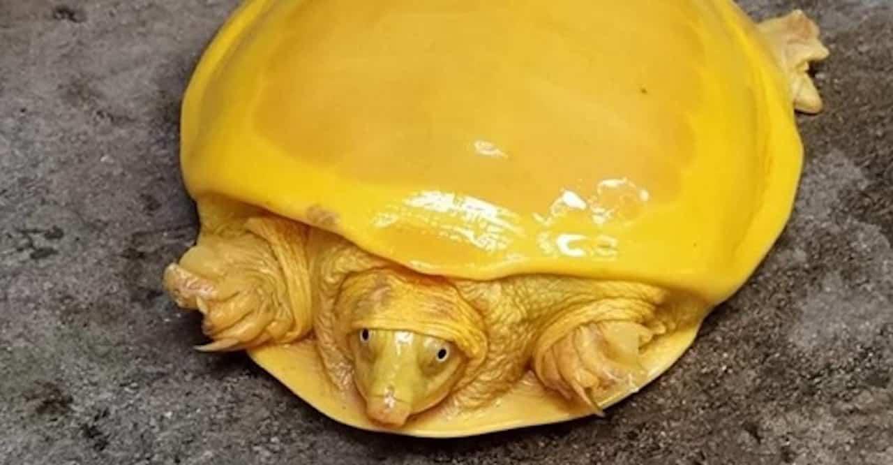 tortue albinos rare