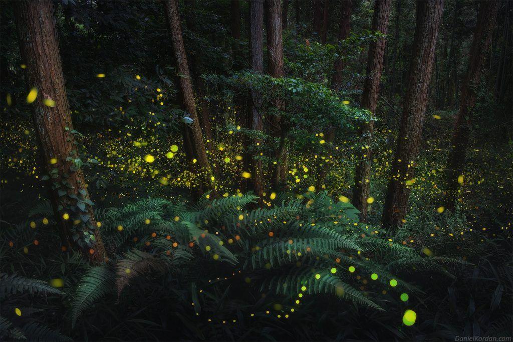 luciole au Japon