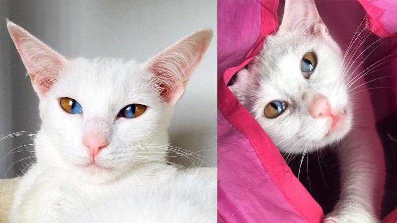 magnifiques yeux bicolores