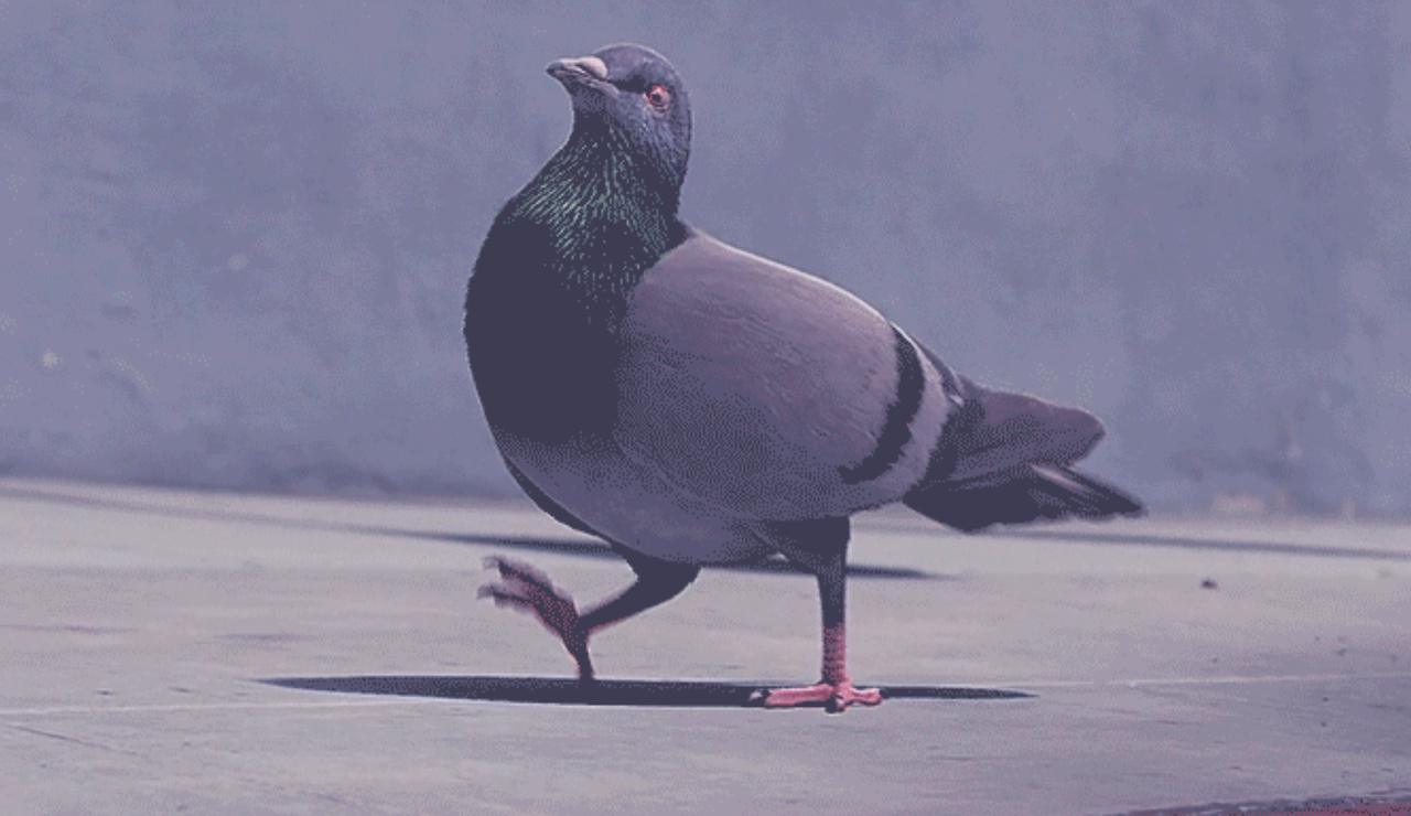 pigeon fier