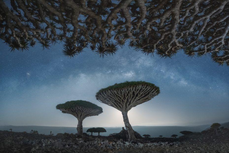 arbres de sang du dragon de Socotra