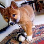 rare de dingo